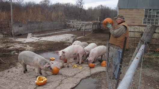 Pigs_eating_pumpkins